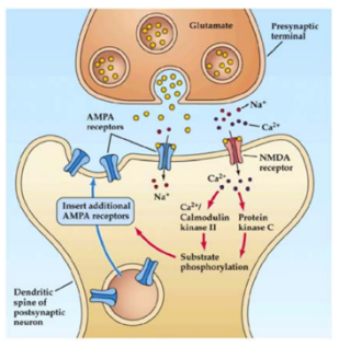 Figure 1a. Onset of LTP through trafficking of AMPA-R to the postsynaptic membrane.